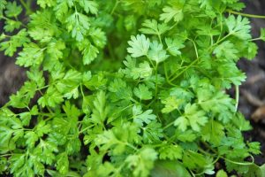 All About Chervil and Substitute